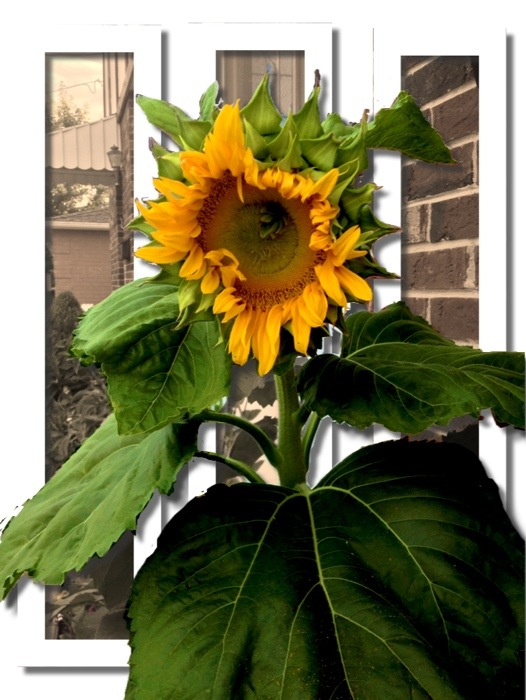 """fresh"" sunflower lady"