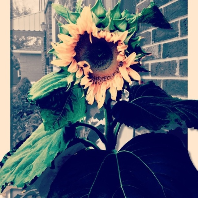 lady sunflower